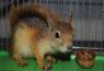 آشنایی با زیست سنجاب ها و پرورش آنها