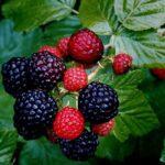 این میوه را بخورید تا فراموشی نگیرید