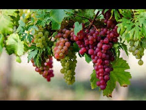 درمان میگرن با انگور قرمز
