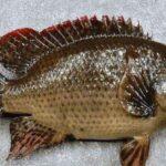 شایعات درباره ماهی تیلاپیا صحت دارد؟