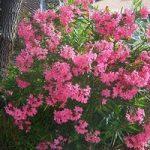 گل بسیار زیبا که باعث سکته قلبی می شود را بشناسید + عکس