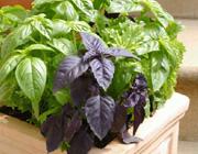 با گیاهان شفا بخش آشنا شوید