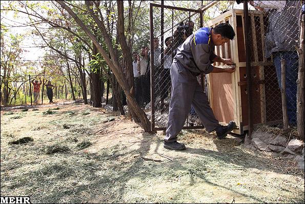 عکسهای دیدنی رهاسازی غزالهای عربی در پارک پردیسان