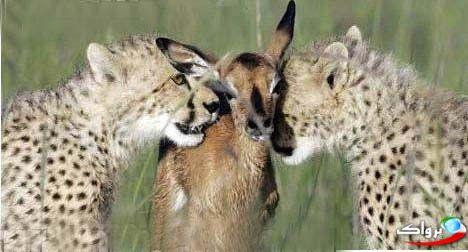 نوازش یک آهو توسط سه یوزپلنگ !+عکس