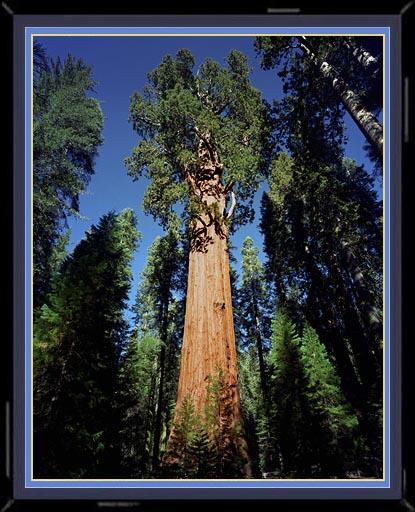 عکسی زیبا از : بزرگترین درخت جهان