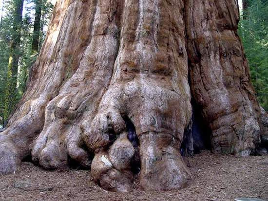 عکس:بزرگترین درخت دنیا