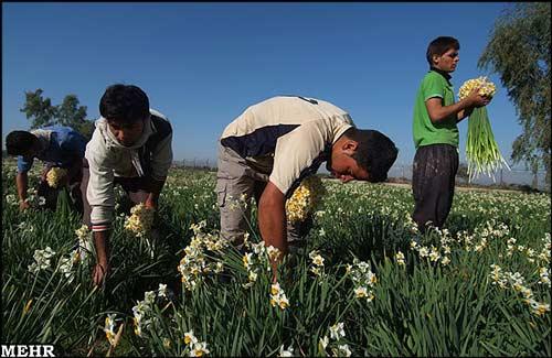 تصاویر دیدنی : برداشت گل نرگس در بهبهان
