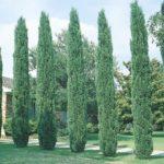 تعبیر خواب سرو , دیدن درخت سرو در خواب چه تعبیری دارد؟