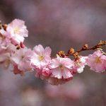 تعبیر خواب شکوفه , دیدن شکوفه در خواب چه تعبیری دارد؟