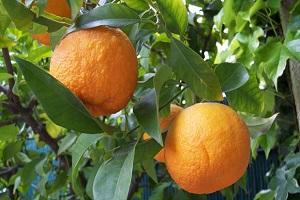 تعبیر خواب نارنج
