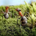 معمای سه مورچه در حال حرکت