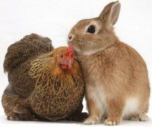 معمای ریاضی خرگوش ها و مرغ ها